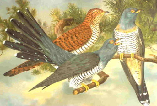 As hosts use social information to assess parasitism risk, cuckoos are under selection to avoid alerting neighbours.  Different colour forms is an effective trick.     Click for image details