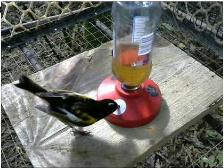 A male hihi learns to associate the while circle with a food reward. From  Franks & Thorogood  Behavioural Processes  2017 .