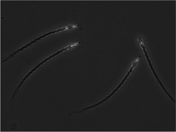 Hihi sperm x400 Image Credit Helen Taylor