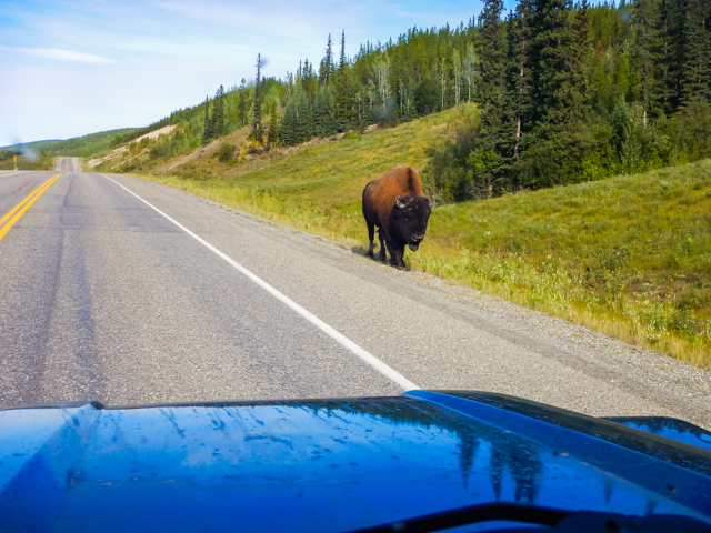 Local wildlife, Wood Buffalo highway stroll, Prophet River, BC
