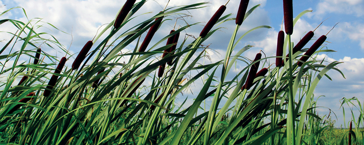 Cattails (emersed) can add to the aesthetic value of your golf course, they also make a good home for a variety of birds, insects, amphibians and underwater inhabitants.  However, cattails can grow and spread vigorously and overtake your water feature.