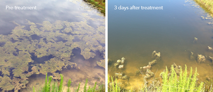 Pre-treatment and post-treatment images of a water body treated with SePRO Total Pond Clear G.