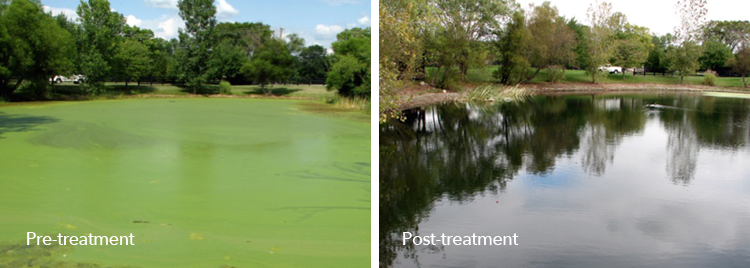 Duckweed (floating) can be aggressive invaders and if colonies cover the surface of the water, then oxygen depletions and fish kills can occur.  Duckweed should be controlled before they cover the entire water surface.