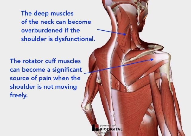 When the upper trapezius and deltoid muscles are overburdened, the deeper neck and shoulder muscles can be forced to compensate. This often results in strain and pain.