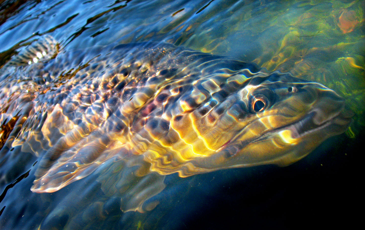 Submerged brown trout. Bryan Huskey photo.