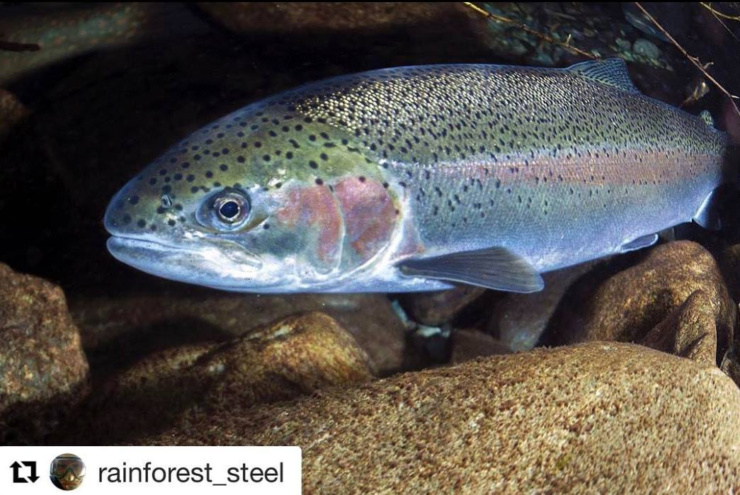 Wild steelhead image from Keepemwet Science Ambassador John McMillan.