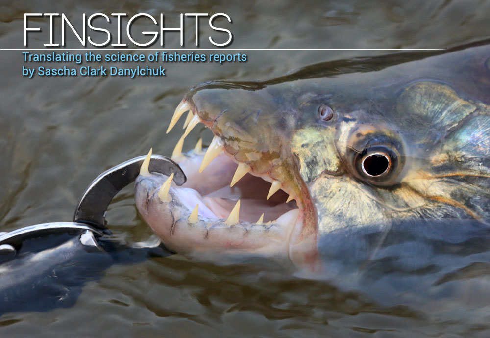 Finsights #10 Lip gripping devices and your catch. Tiger fish. Dave McCoy photo.