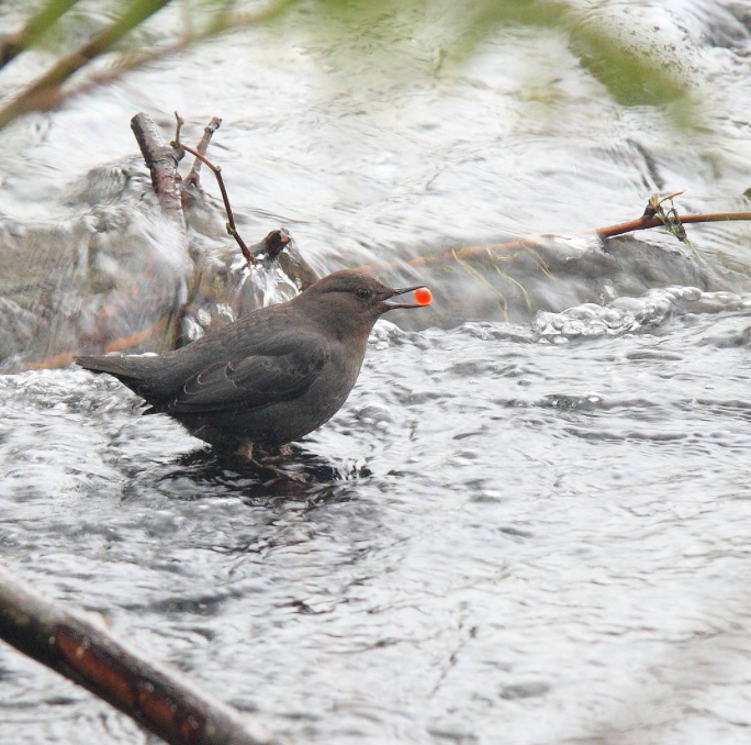Water Ouzel from the Instagram account of Keepemwet Science Ambassador  John McMillan.