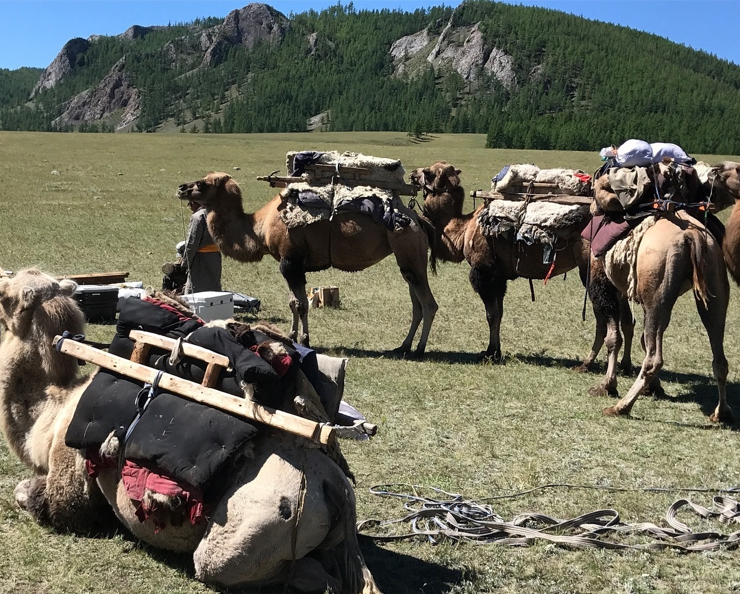 Camels loaded for the two day upstream trip to the headwaters of the Delger Moron.