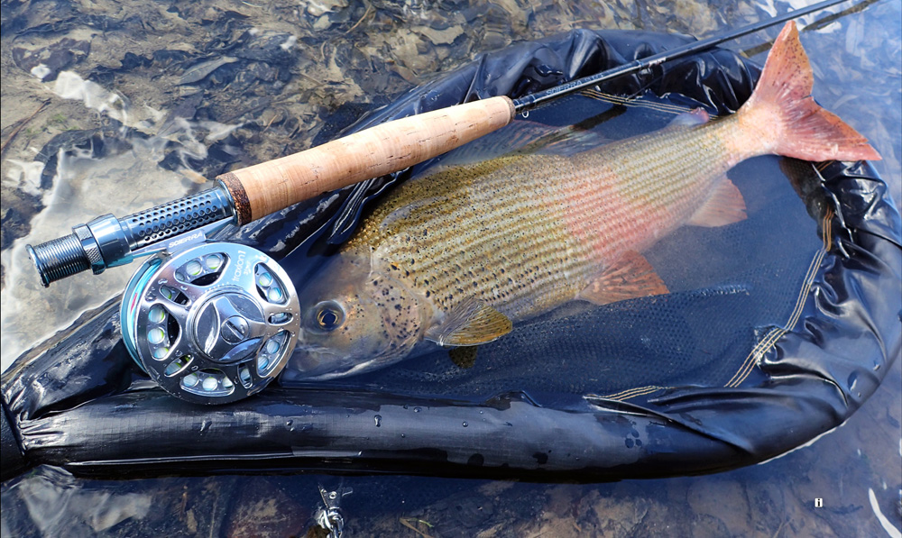 "Not equally loved around the planet, but really important for the fly fishing community here in Slovenia, this trophy grayling ""Lady of the Stream"", was caught and released in early spring on the Iščica River.    Photograph by Uroš Kristan, KWF Ambassador."