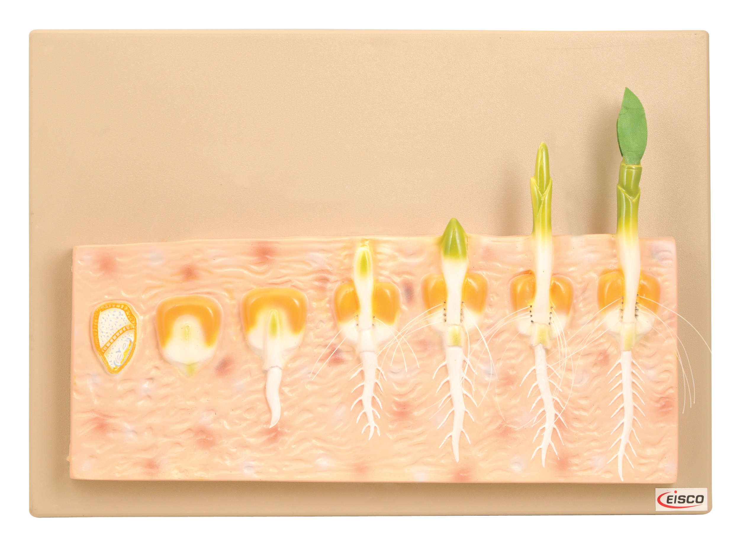SEED GERMINATION - MONOCOT - Code: BM0044Price: $35.00· Model shows germination of monocot, Maize plant· Stages in development numbered· Key Card included· Size: 42cm x 30cm x 7cm (approx.)