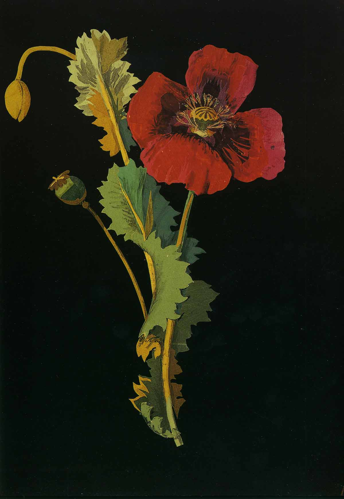 Papaver somniferum, the Opium Poppy, Bulstrode, October 18, 1776, by Mary Delany. Please note: All images are from The Paper Garden and provided courtesy of The British Museum.