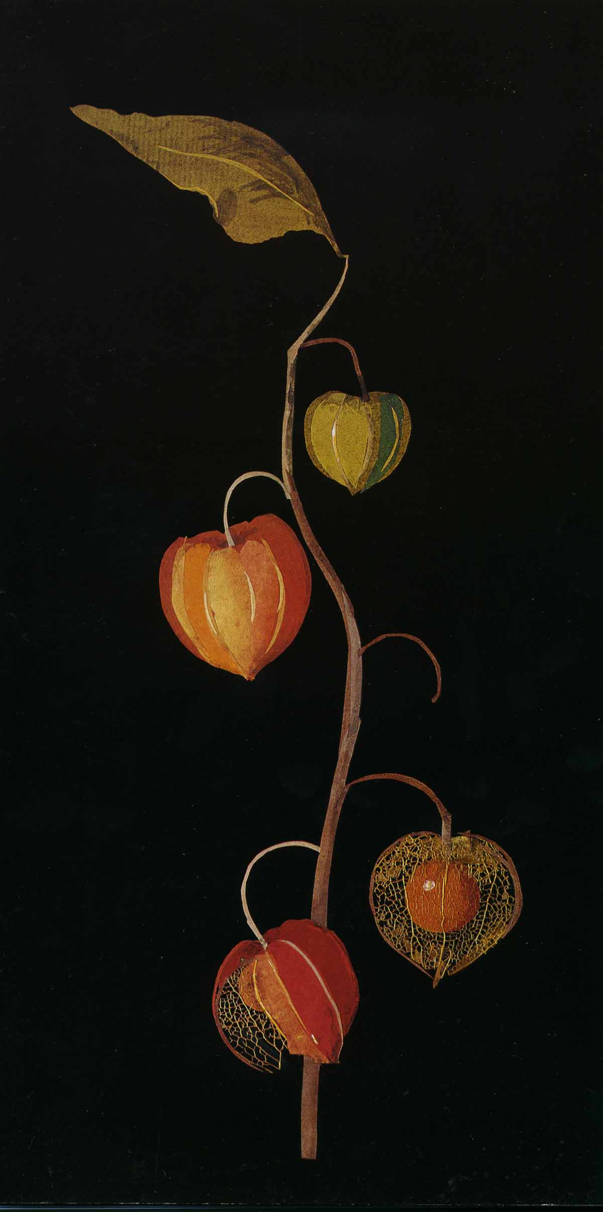 Physalis, Winter Cherry (Berry), Bulstrode, November (year not specified)