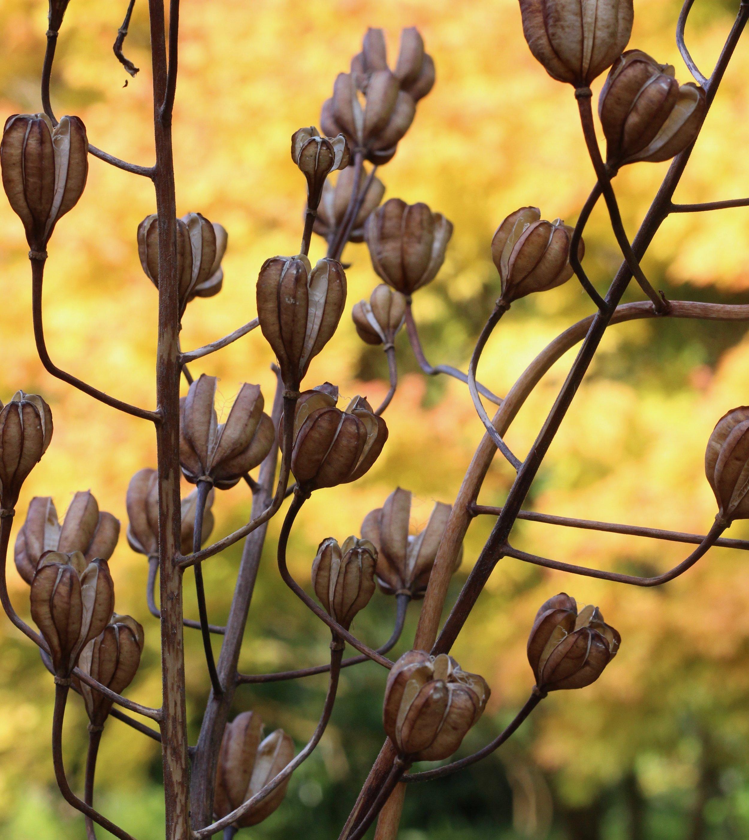 Martagon lilies at Cambo