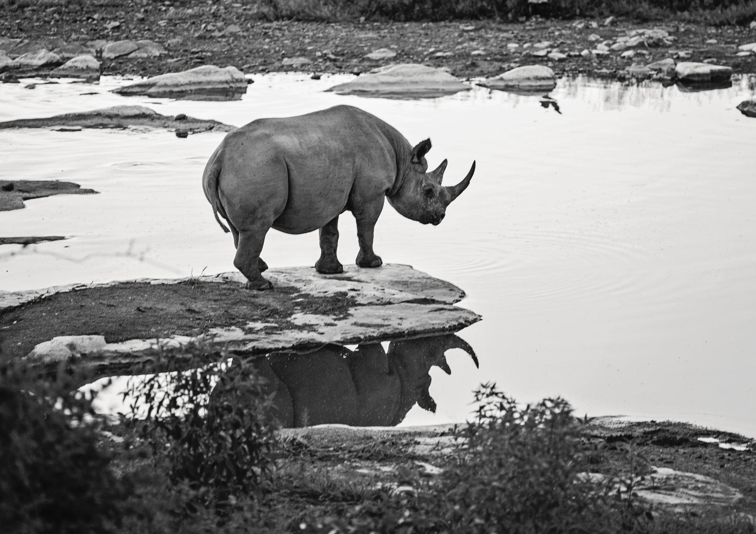 An endangered Rhino, Etosha National Park, Namibia.