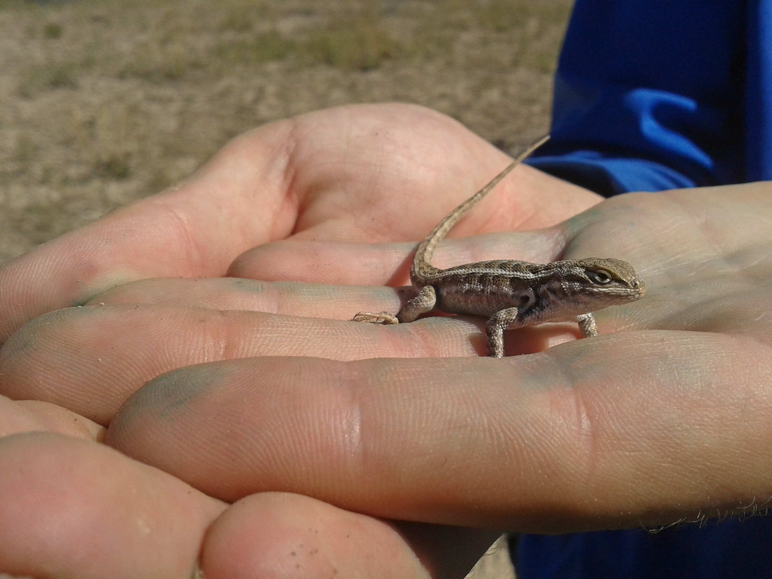 Unidentified lizard.