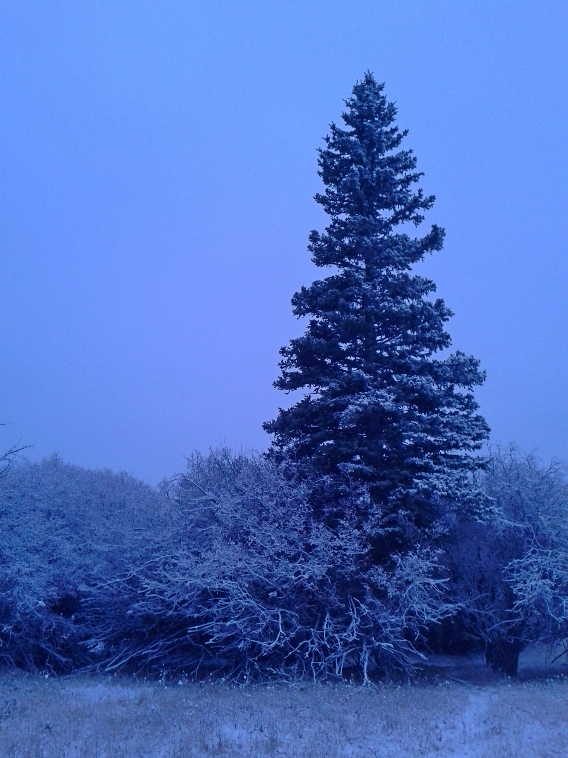 Conifers look good in the snow.