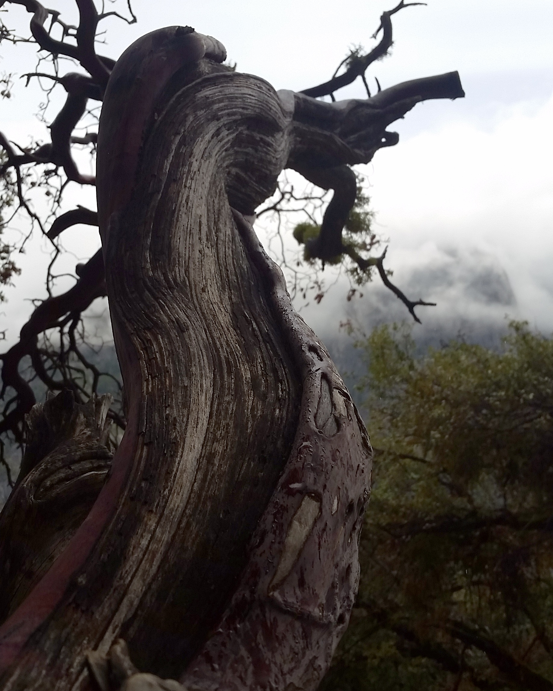 A manzanita tree in Yosemite. Living tissue and dead intertwined and piercing the mists.