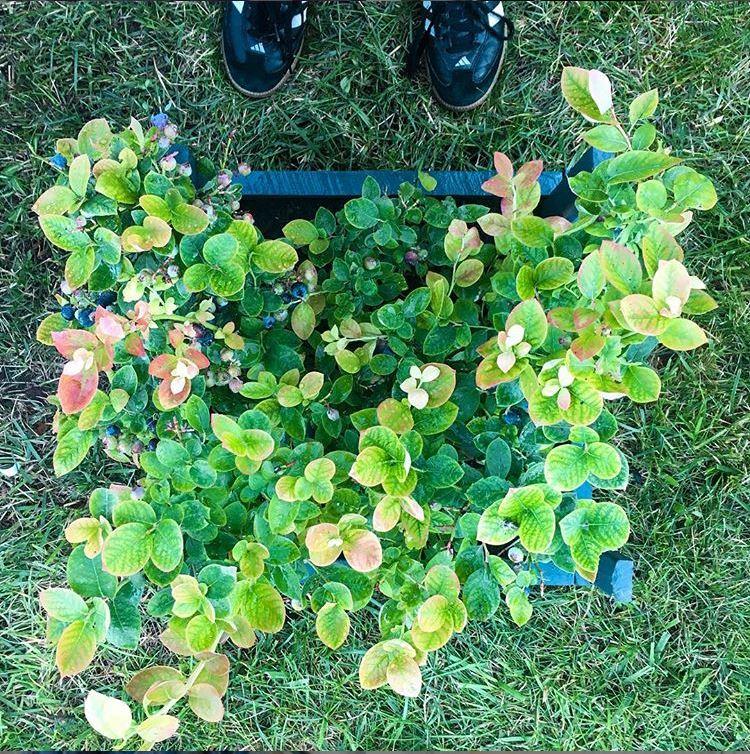 blueberry bush.JPG