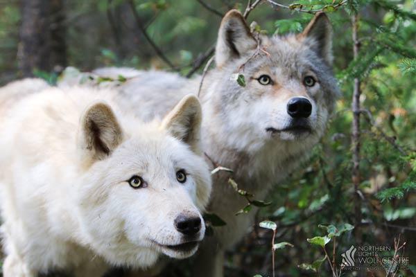 Photo:  Northern Lights Wolf Centre