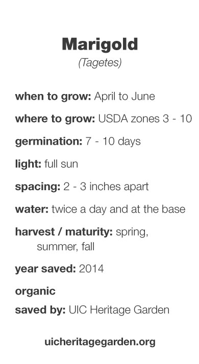 Marigold growing information