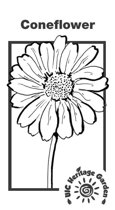 Coneflower Illustration