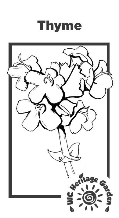 Thyme Illustration