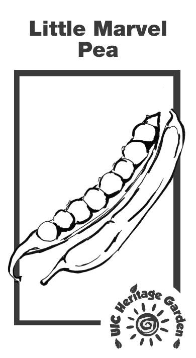 Little Marvel pea Illustration