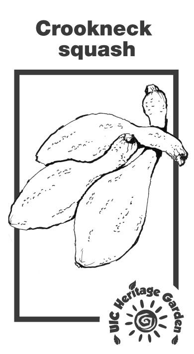 Crookneck Squash Illustration