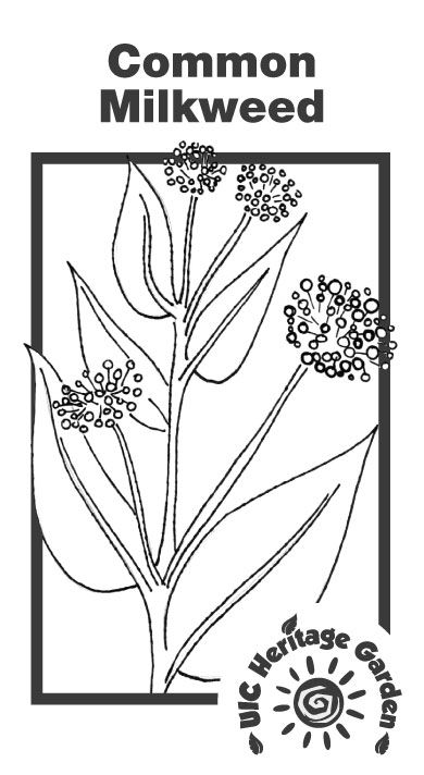 Common Milkweed Illustration
