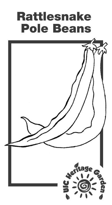 Rattlesnake Pole Beans Illustration