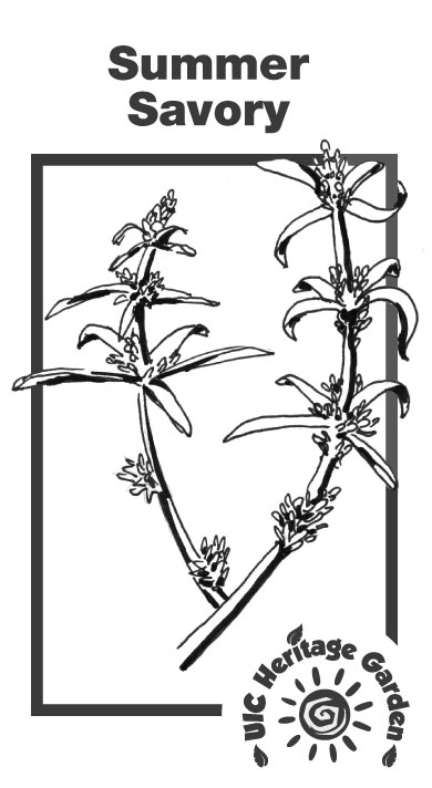 Summer Savory Illustration