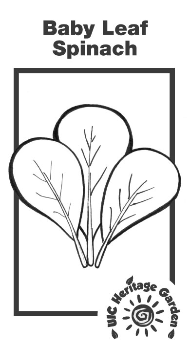 Baby Leaf Spinach Illustration