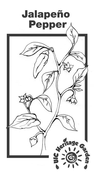 Jalapeño Pepper Illustration
