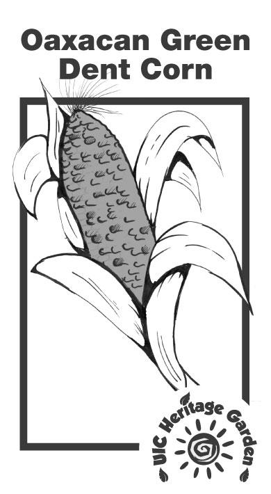 Oaxacan Green Dent Corn Illustration
