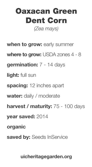 Oaxacan Green Dent Corn growing information