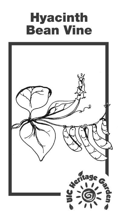 Hyacinth Bean Vine Illustration