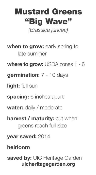 "Mustard Greens ""Big Wave"" growing information"