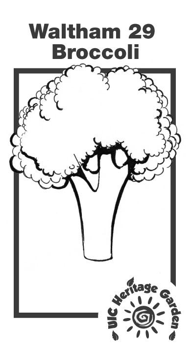 Waltham 29 Broccoli Illustration