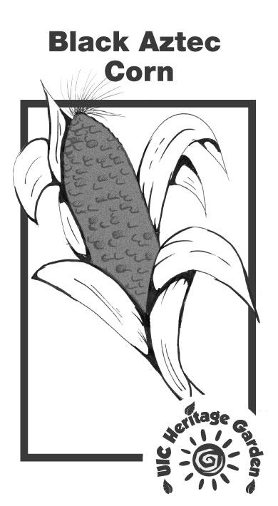 Black Aztec Corn Illustration