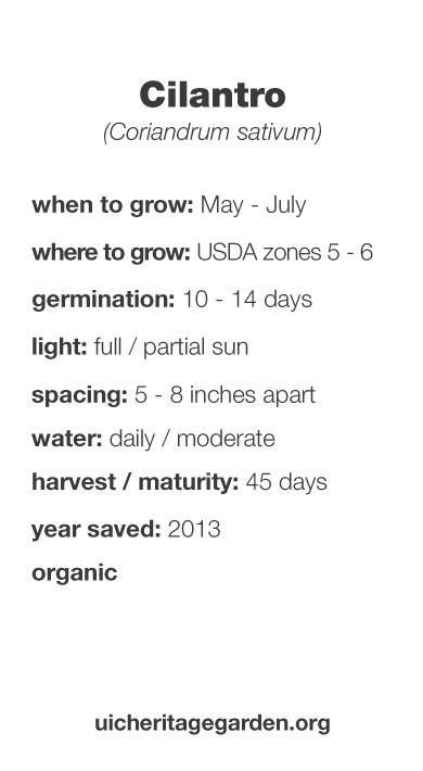 Cilantro growing information
