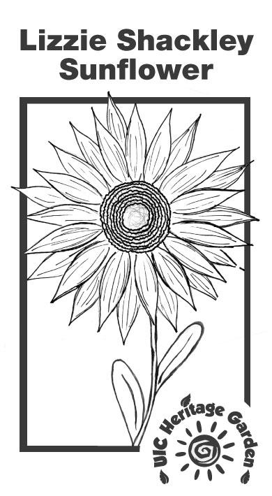 Lizzie Shackley Sunflower Illustration
