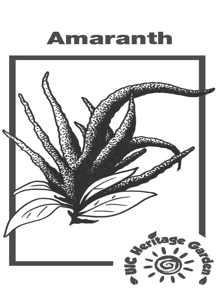 Amaranth Illustration