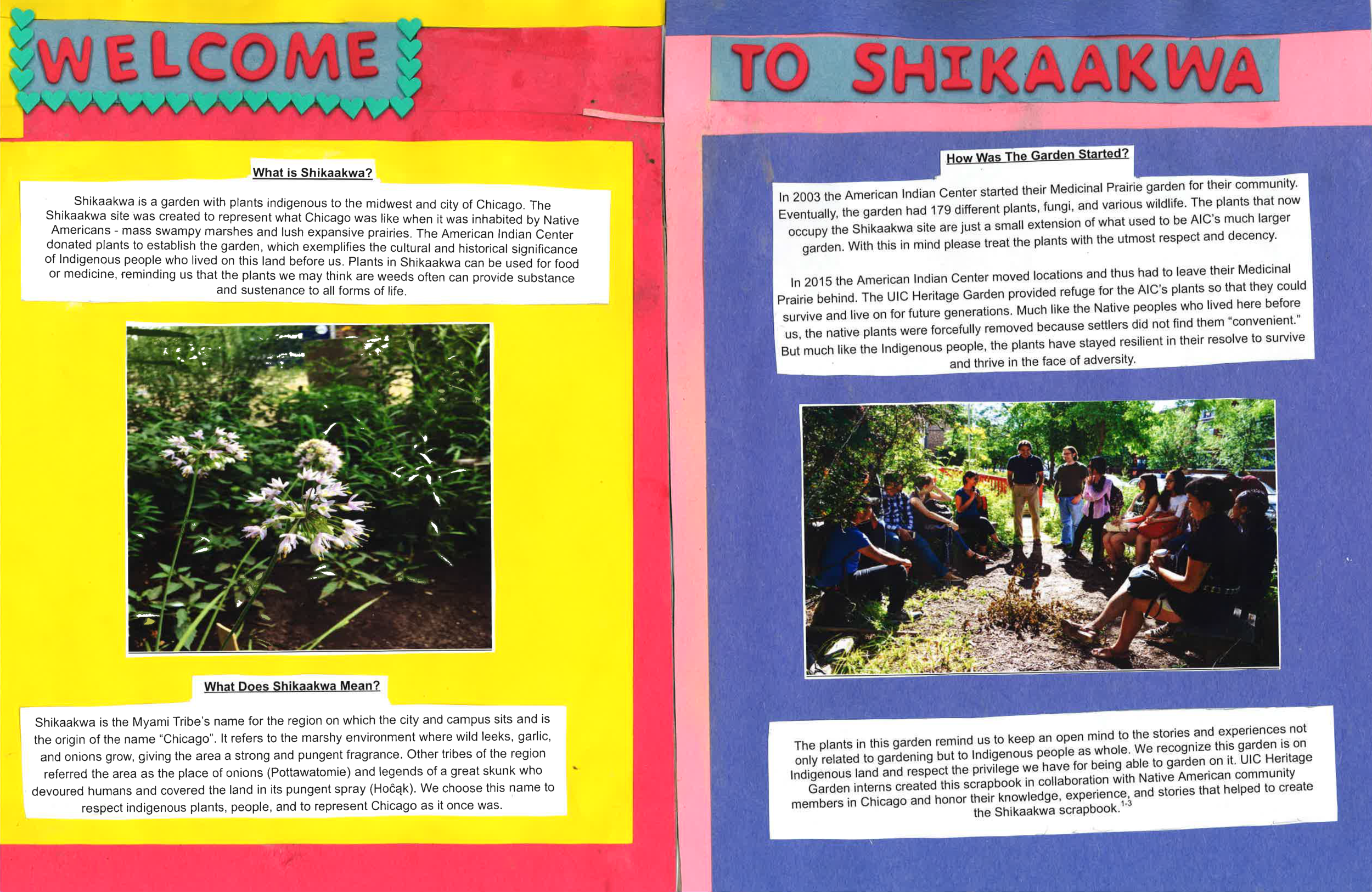 "Welcome to Shikaakwa   What is Shikaakwa?  Shikaakwa is a garden with plants indigenous to the midwest and the city of Chicago. The Shikaakwa site was created to represent what Chicago was like when it was inhabited by Native Americans - mass swampy marshes and lush expansive prairies. the American Indian Center donated plants to establish the garden, which exemplifies the cultural and historical significance of indigenous people who lived on this land before us. Plants in Skikaakwa can be used for food or medicine, reminding us that the plants we may think are weeds often can provide substance and sustenance to all forms of life.  [Picture of plants]  What does Shikaakwa Mean?  Shikaakwa is the Myami Tribe's name for the region on which the city and campus sits and is the origin of the name ""Chicago."" It refers to the marshy environment where wild leeks, garlic, and onions grow, giving the area a strong and pungent fragrance. Other tribes of the region referred the area as the place of onions (Pottawatomie) and legends of a great skunk who devoured humans and covered the land in its pungent spray (Hočąk). We choose this name to respect indigenous plants, people, and to represent Chicago as it once was.  How was the garden started?  In 2003 the American Indian Center started their Medicinal Prairie garden for their community. Eventually, the garden had 179 different plants, fungi, and various wildlife. The plants that now occupy the Shikaakwa site are just a small extension of what used to be AIC's much larger garden. With this in mind please treat the plants with the utmost respect and decency.  In 2015 the American Indian Center moved locations and had to leave their Medicinal Prairie behind. The UIC Heritage Garden provided refuge for the AIC's plants so that they could survive and live on for future generations. Much like the Native peoples who lived here before us, the native plants were forcefully removed because settlers did not find them ""convenient."" But much like the Indigenous people, the plants have stayed resilient in their resolve to survive and thrive in the face of adversity.  The plants in this garden remind us to keep an open mind to the stories and experiences not only related to gardening but to Indigenous people as whole. We recognize this garden is on Indigenous land and respect the privilege we have for being able to garden on it. UIC Heritage Garden interns created this scrapbook in collaboration with Native American community members in Chicago and honor their knowledge, experience, and stories that helped to create the Shikaakwa scrapbook."
