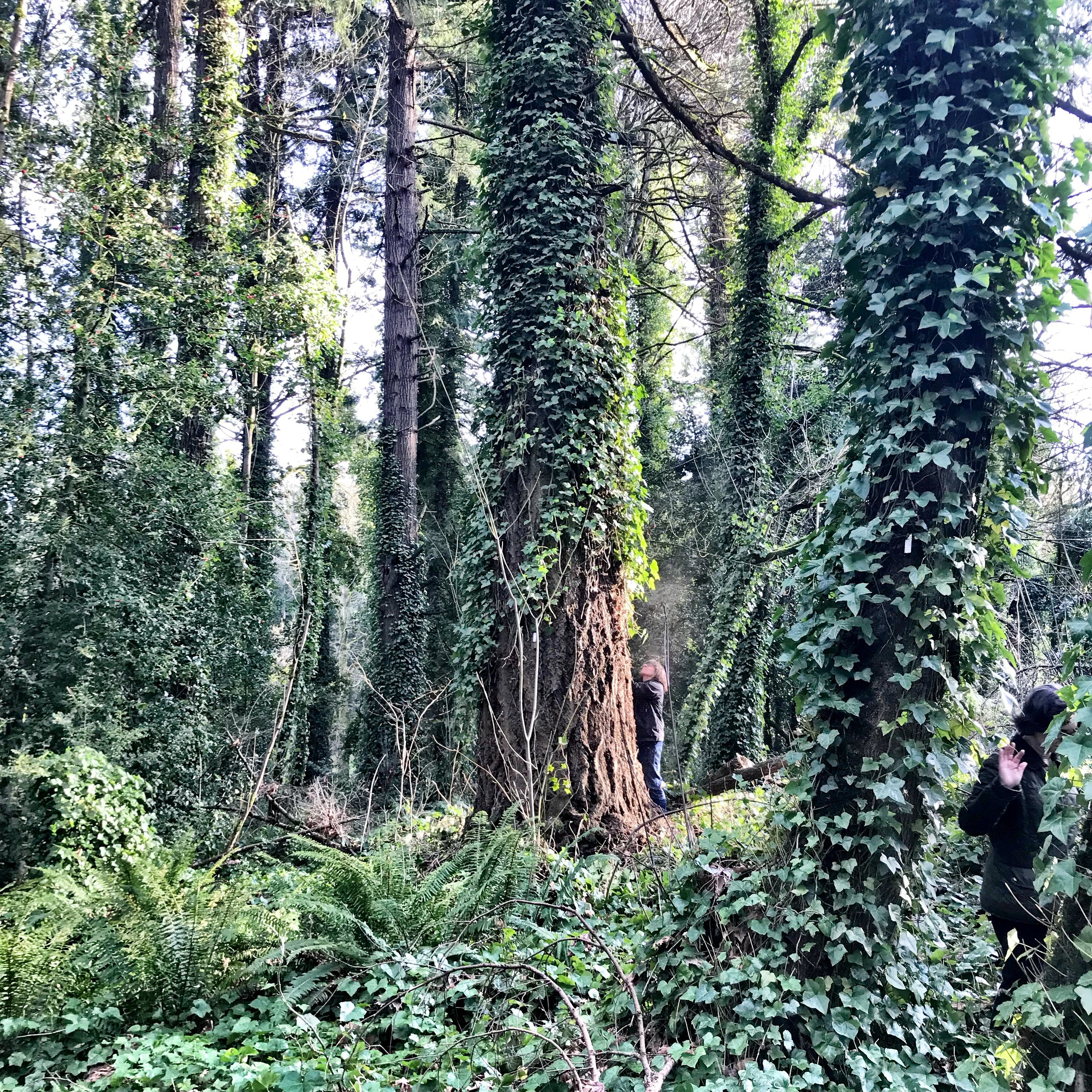 """54"""" Douglas Fir Tree in Upland Forest Area slated for clear-cut"""