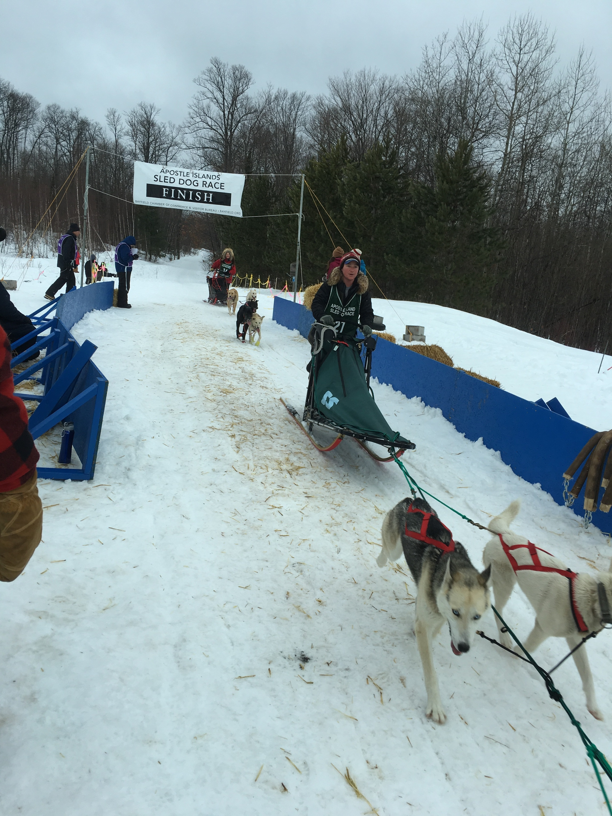 Dogs finishing up at The Apostle Island Dog Sled Races