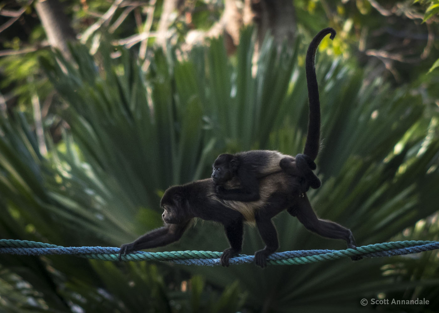 Howler Monkeys, Manuel Antonio, Costa Rica