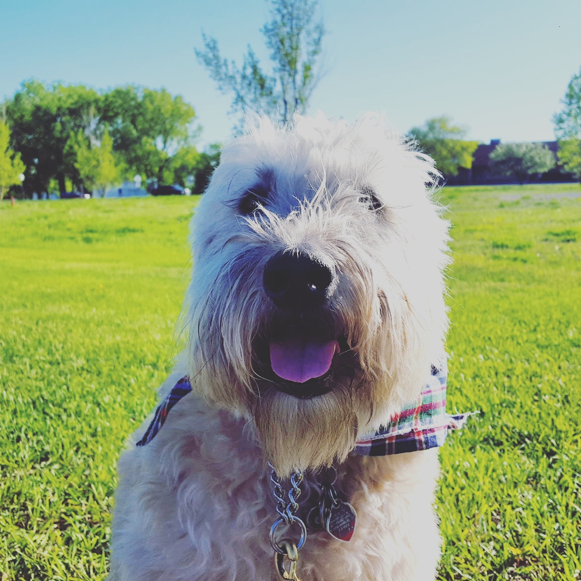 Dog Breed Soft Coated Wheaten Terrier