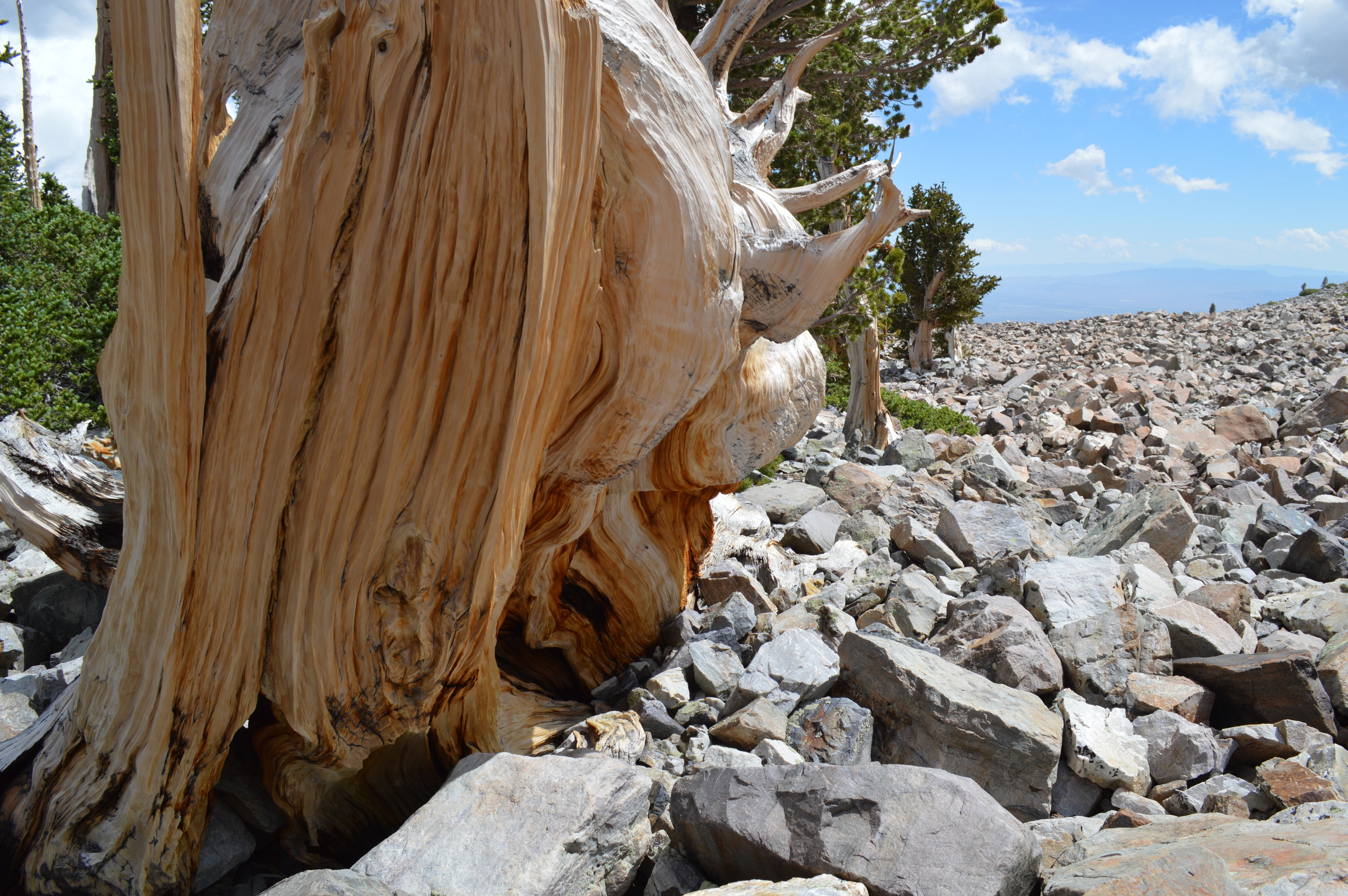 The edge of the forest.  Glacial Moraine at tree line on northeast face of Wheeler Peak, (Near Prometheus Stump)