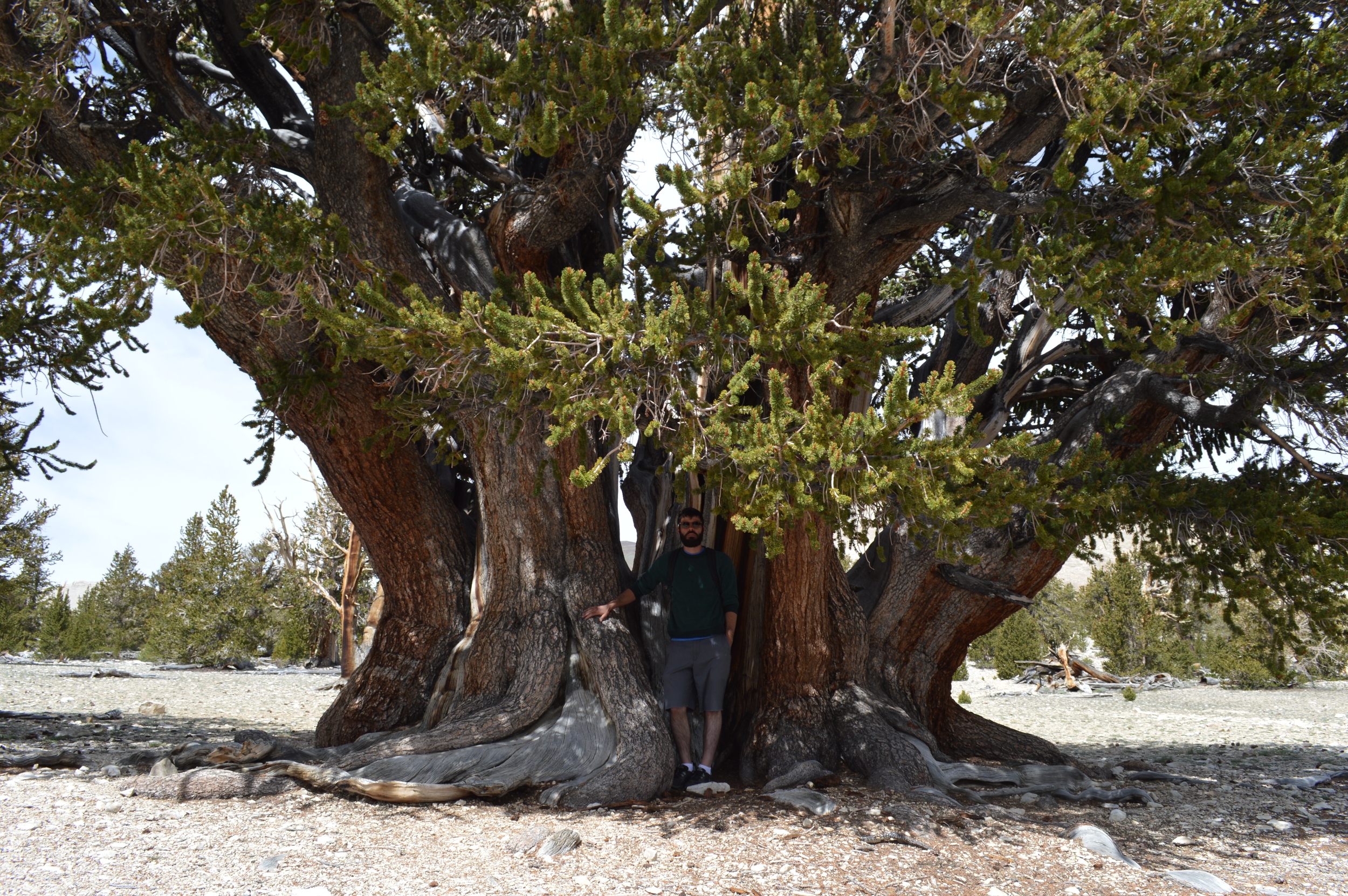 Patriarch Tree, 1500yrs, Patriarch Grove - The remote White Mountains of the Inyo National Forest.